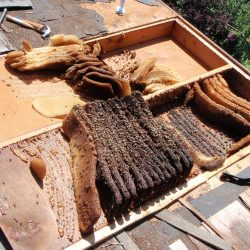 Bees In Roof